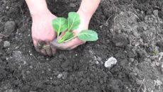 Посадка ранней капусты в открытый грунт