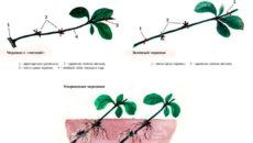 Айва японская: размножение черенками