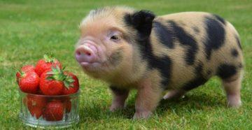 Карликовая домашняя свинья  описание