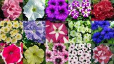 Лучшие сорта петунии: название, описание, особенности