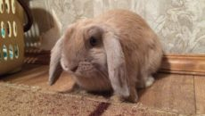 Вислоухий кролик баран