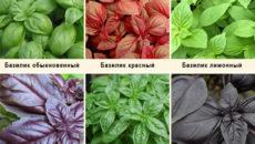 Базилик сорта  зеленый, фиолетовый и красный