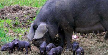 Черная свинья  описание породы