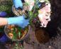 Когда рассаживать лилии