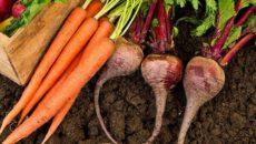 Когда сажать морковь и свеклу