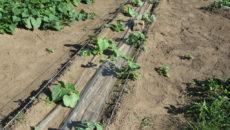 Как в Сибири в открытом грунте вырастить арбузы
