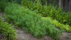 Как посадить укроп и петрушку на даче