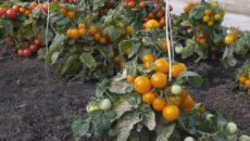 Штамбовые томаты: что это такое