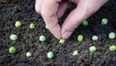 Как прорастить горох для посадки